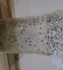 mušice - kultura mušic